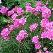 Armeria Maritima-Engels Gras-Zon