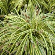Carex Japonica-Japanse Zegge-Halfschaduw