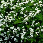 Galium Odoratum-Lievevrouwebedstro-Halfschaduw-Schaduw