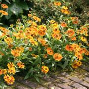 Helenium Waltraut-Zonnekruid-Zon