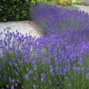 Lavandula-Lavendel-Zon
