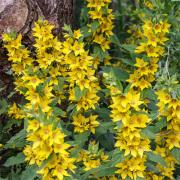 Lysimachia Punctata-Puntwederik-Zon