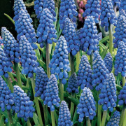 Muscari-Blauw Druifje-Zon-Halfschaduw
