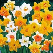 Narcissus-Narcis-Zon-Halfschaduw