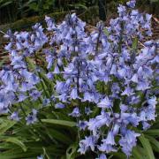 Scilla Non-scripta-Wilde Hyacint-Halfschaduw-Schaduw