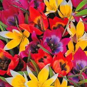 Tulipa-Botanische Tulpjes-Zon-Halfschaduw
