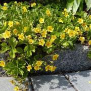 Waldsteinia Ternata-Goudaardbei-Zon-Halfschaduw-Schaduw